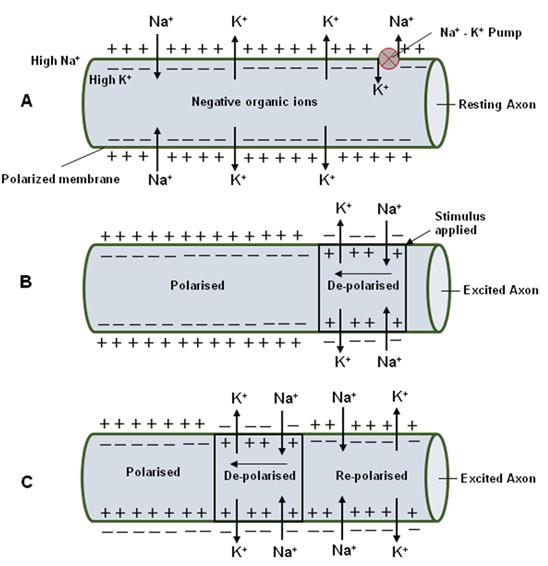 neurophysiology of nerve impulses
