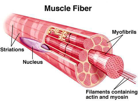 Muscle Skeletal Muscle Gross And Ultra Structure