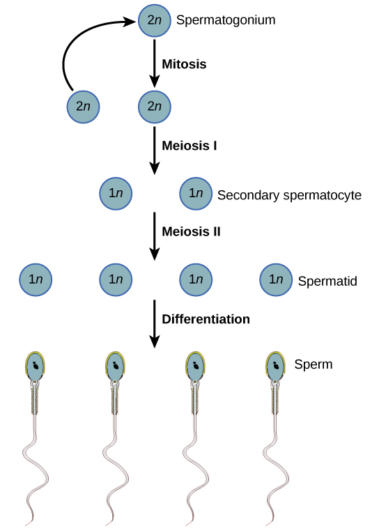 diagram showing steps of pcr diagram steps of meiosis