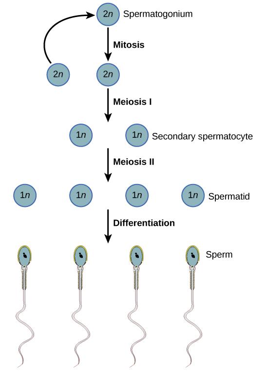 Gametogenesis In Human