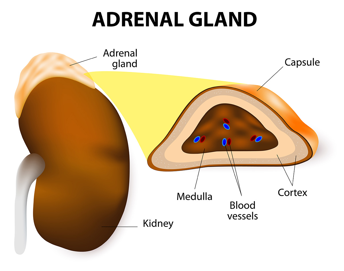 endocrine gland diagram labeled adrenal gland structure location and hormones thyroid gland diagram labeled