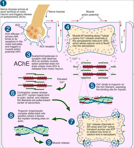 Sliding Filament Model of Muscle Contraction  Online