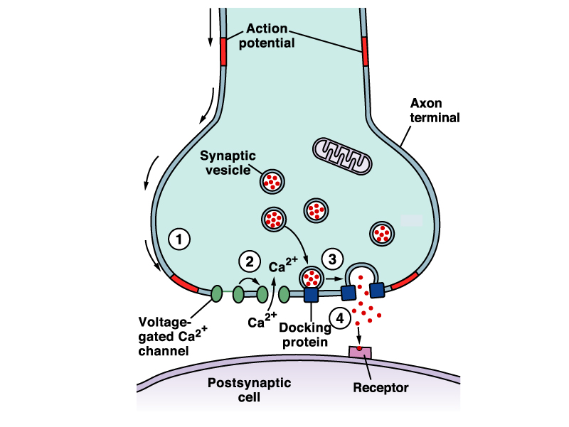 Nerve Impulse Transmission Across Synapse