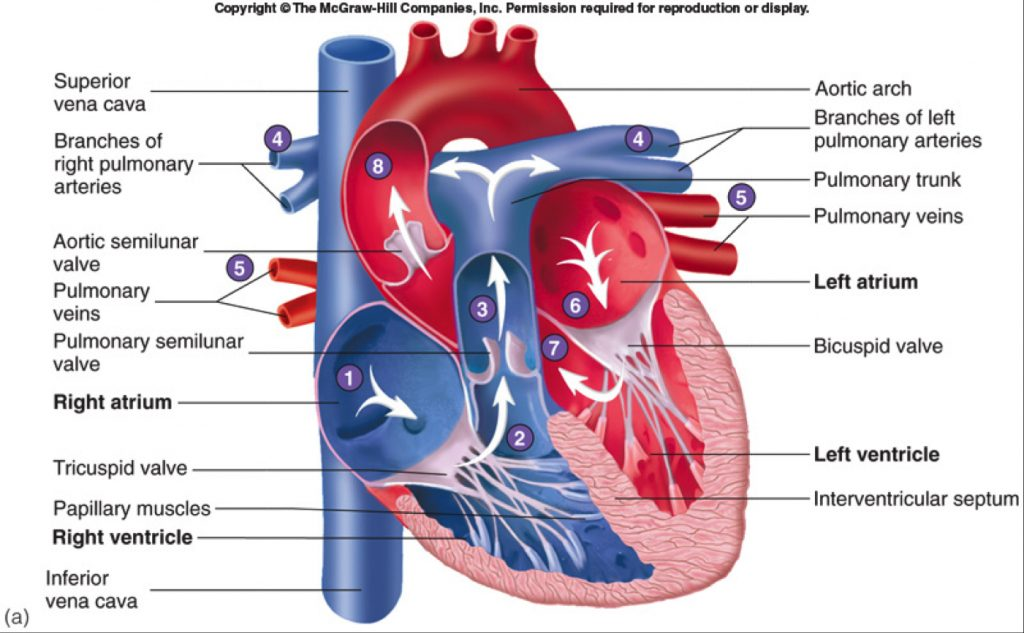 Human Heart Gross Structure And Anatomy Online Biology Notes