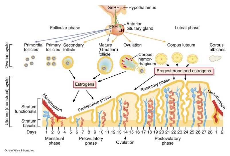 Ovarian cycle menstrual cycle menstrual phase proliferative phase or follicular or ovulatory phase luteal or secretory phase ccuart