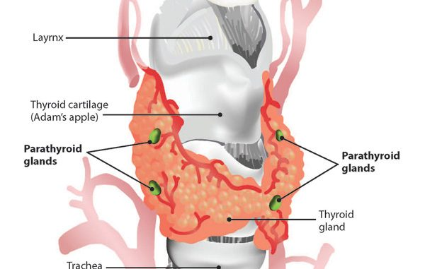 Parathyroid gland: structure, location and Hormones -