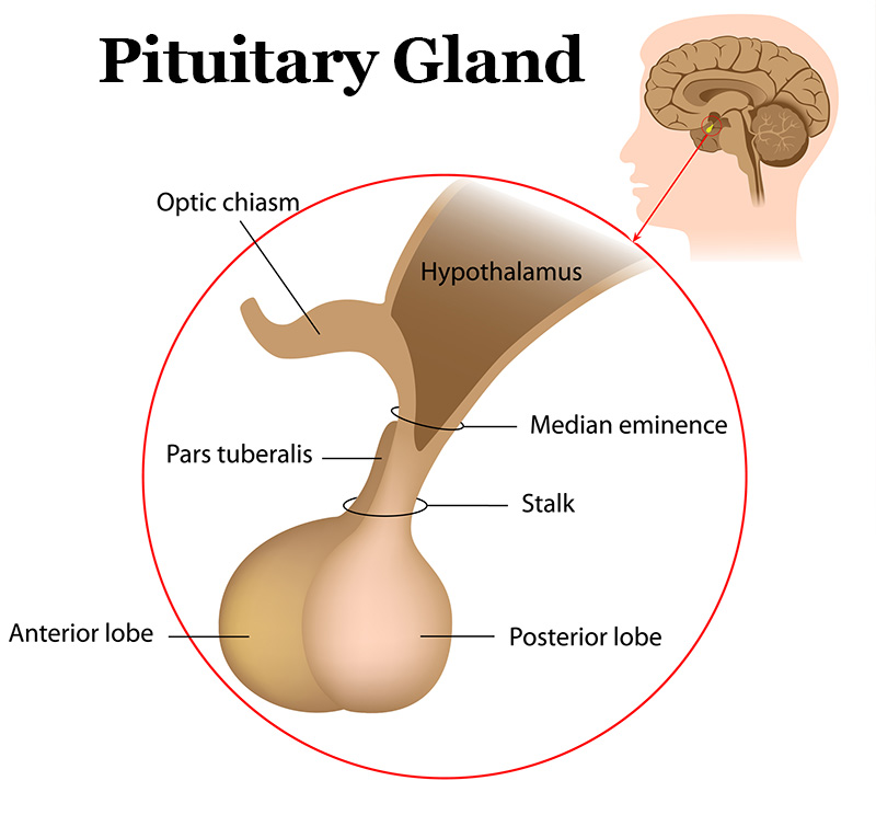 Pituitary Gland Hypophysis Master Gland Online Biology