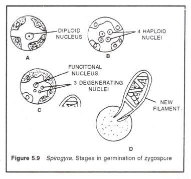 Spirogyra germination of zygospore ccuart Images
