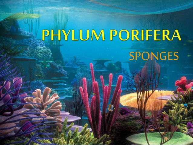 Phylum Porifera: General characteristics and Classification