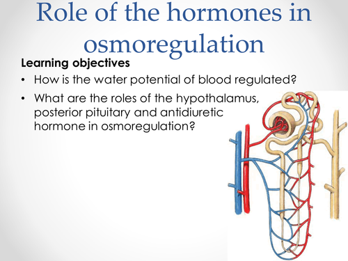 Role Of Adh Angiotensin And Aldosterone In Osmoregulation. Role Of Adh. Wiring. Aldosterone Hormone Feedback Loop Homeostasis Diagram For At Scoala.co