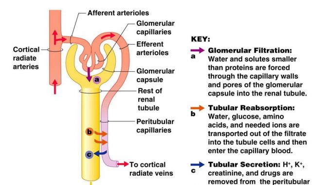 Physiology of urine formation - Online Biology Notes