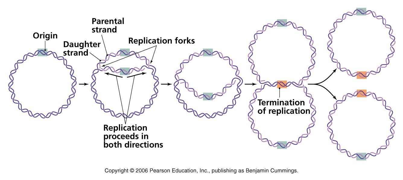 when bidirectional replication forks from adjacent origins meet