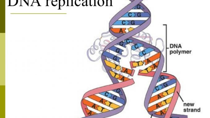 Dna Replication Online Biology Notes