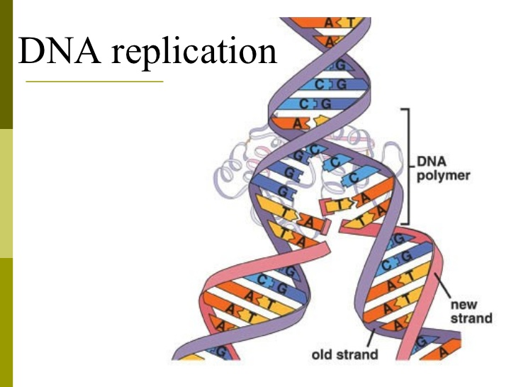 DNA replication - Online Biology Notes