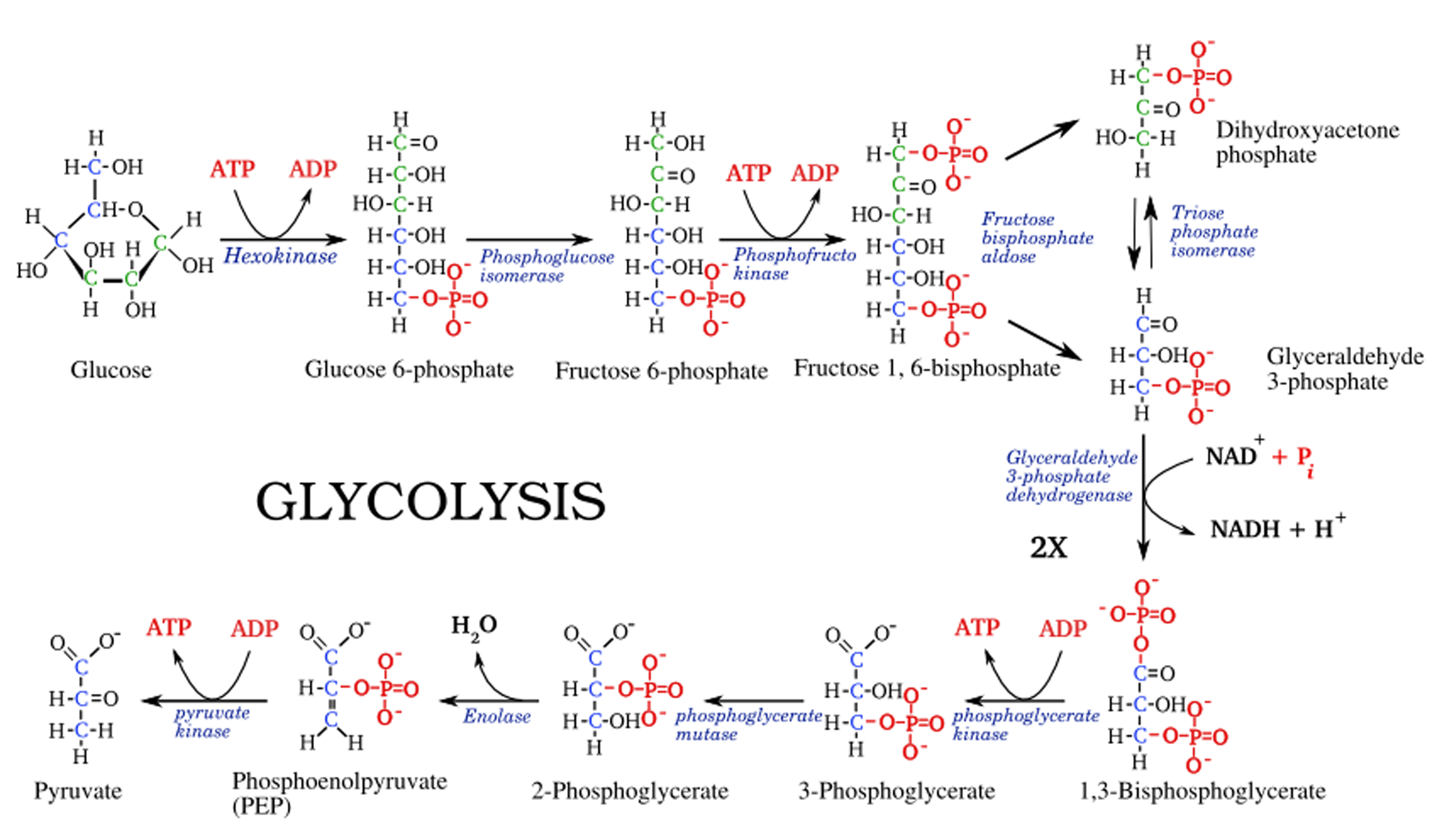 enzymatic diagram of glycolysis glycolysis steps  diagram and enzymes involved online biology notes  glycolysis steps  diagram and enzymes