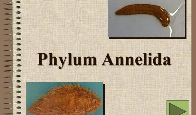 Phylum Annelida General Characteristics And Classification
