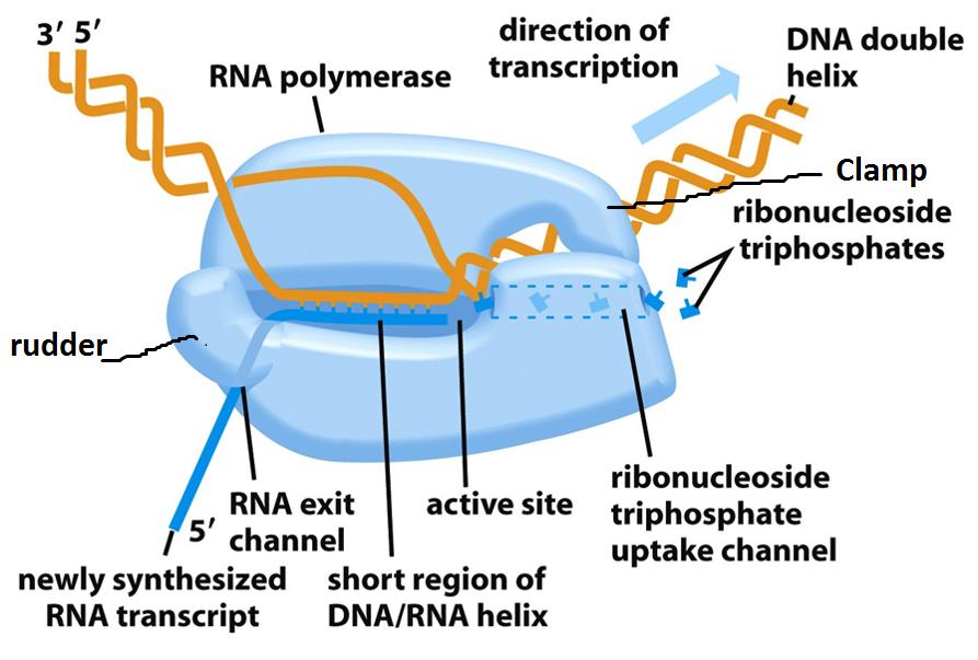 Transcription in Prokaryotes - Online Biology Notes