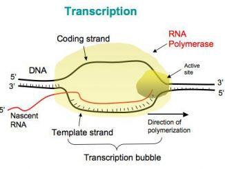 Transcription (biology)