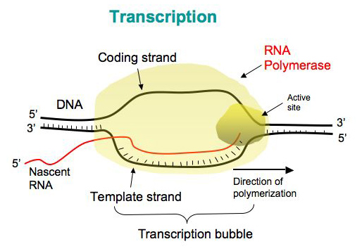Transcription in Prokaryotes - Online Biology Notes