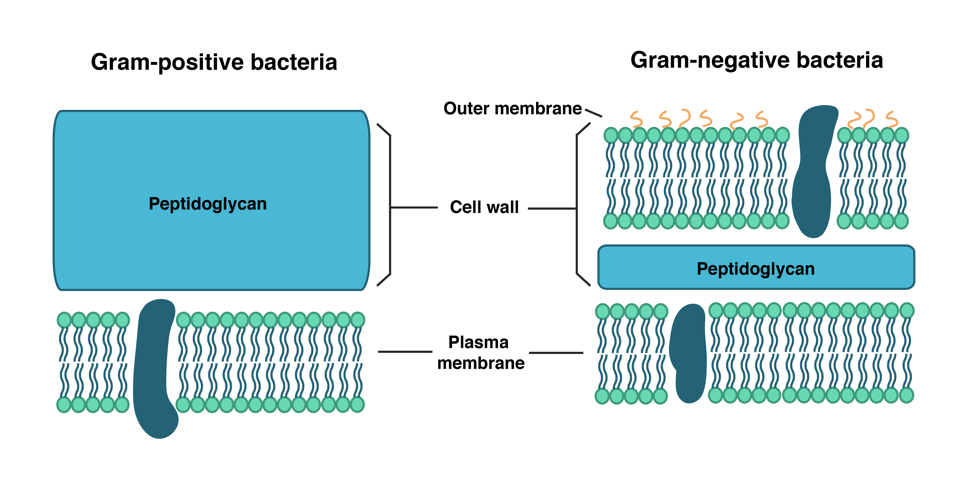 Bacterial cell wall structure composition and types on the basis of cell wall composition bacteria are classified into two major group ie gram positive and gram negative ccuart Image collections