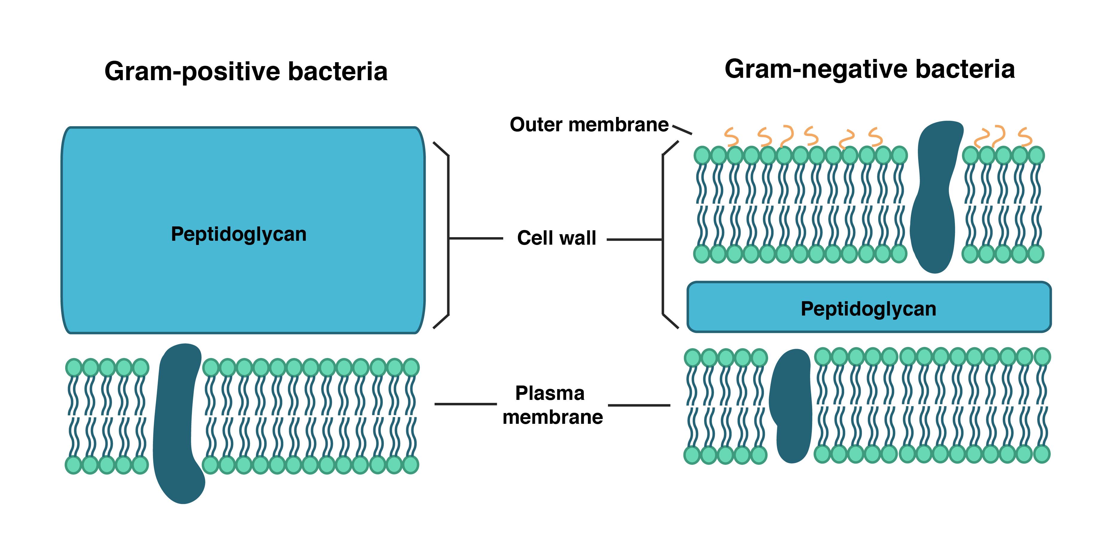 Struktur Dinding Sel Bakteri Gram-Positif Dan Bakteri Gram-Negatif