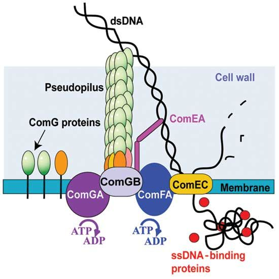 Bacterial transformation competence in gram ve bacteria ccuart Gallery