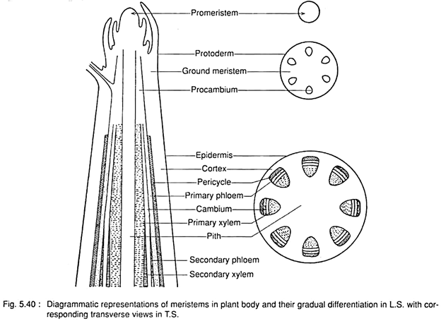 Meristematic tissue  characteristics  types and function