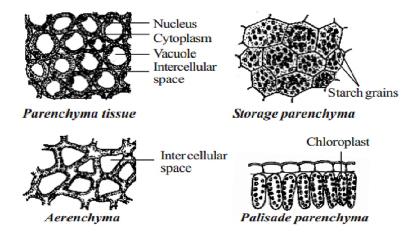permanent tissue  characteristics  types and functions