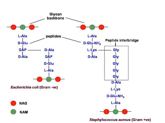 Bacterial Cell wall: Structure, Composition and Types