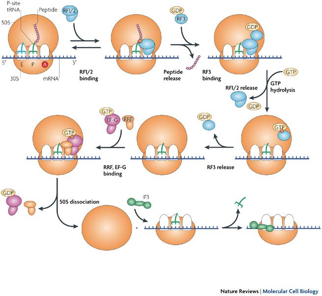 termination translation in prokaryotes