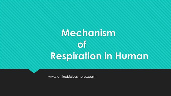 Mechanism of respiration in Human - Online Biology Notes