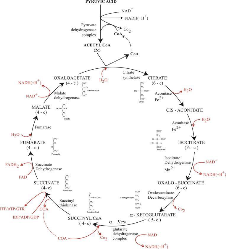 Citric Acid Cycle Or Krebs Cycle Or Tricarboxylic Acid