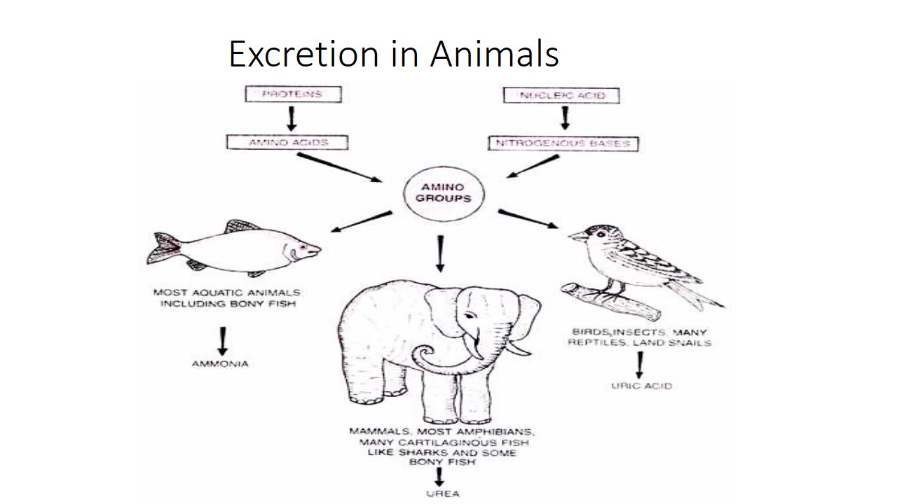 Excretion in Animals; significance of excretion, modes and types of  excretory wastes in different animals - Online Biology Notes
