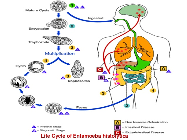 Entamoeba histolytica: Morphology, life cycle, Pathogenesis