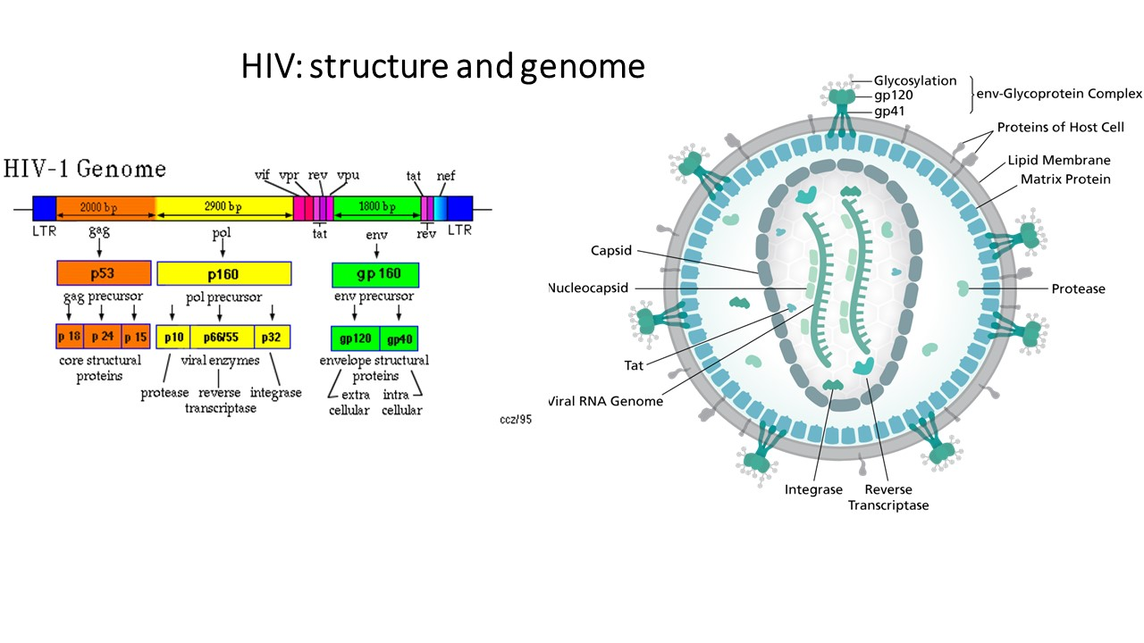 Structure, genome and proteins of HIV -