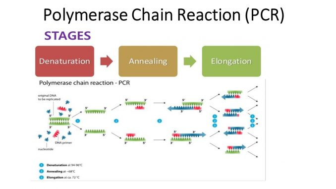 Polymerase chain reaction (PCR): Principle, procedure or steps