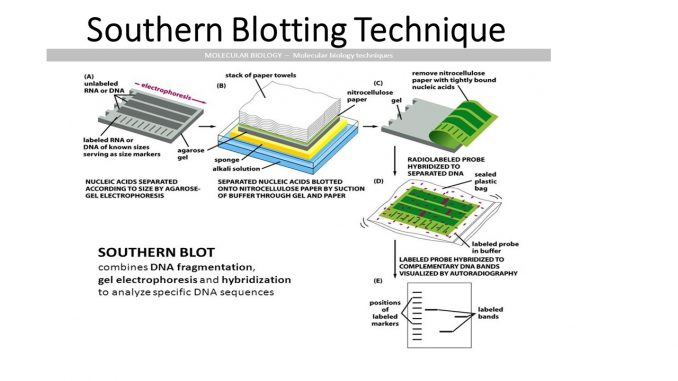 Southern Blotting: principle, procedure and application