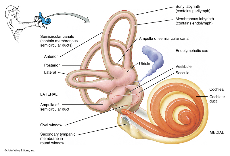 Human Ear Structure And Anatomy