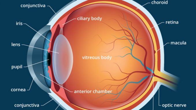 Human eye anatomy parts and structure human eye anatomy parts and structure ccuart Image collections