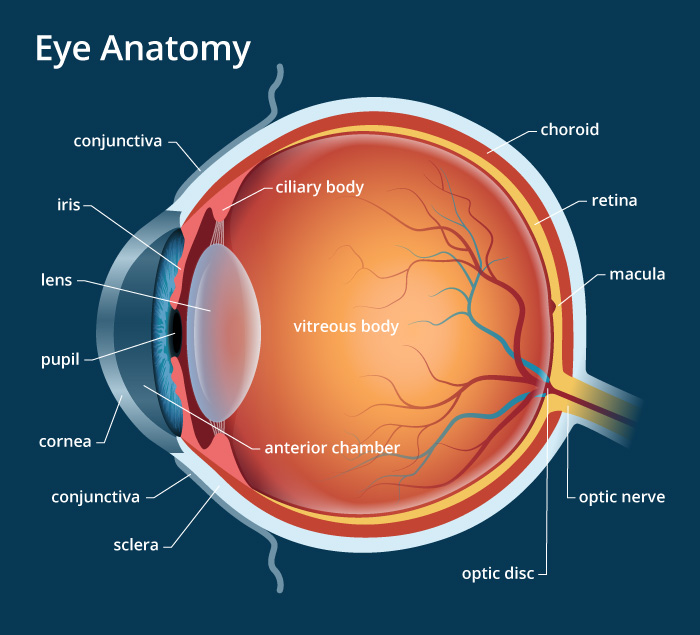Human Eye: Anatomy, Parts And Structure