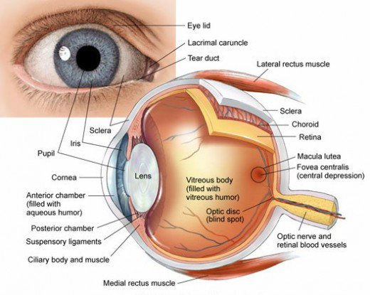 Human Eye Anatomy Parts And Structure Online Biology Notes