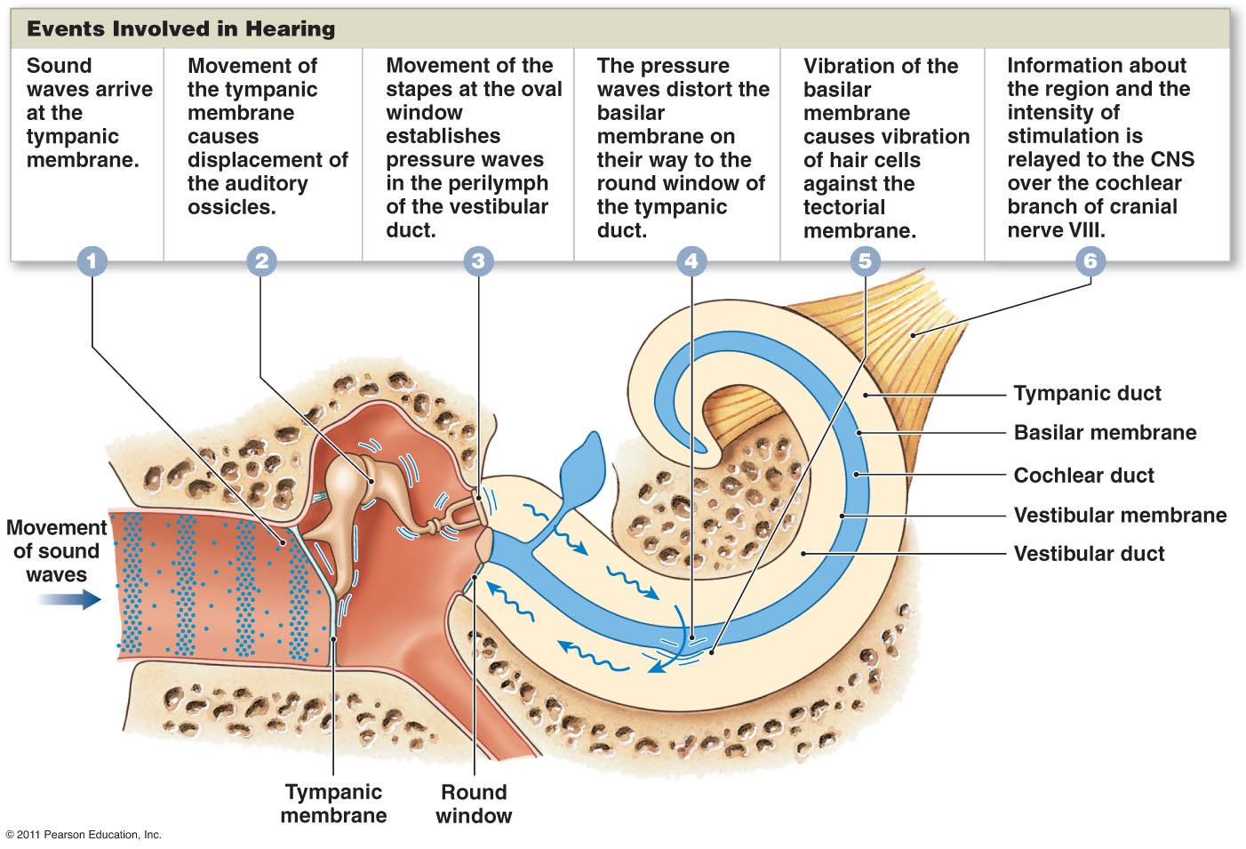 the mechanism of humans hearing The structures of the outer and middle ear contribute to both the remarkable sensitivity and the wide dynamic range of human hearing they can be considered to be both a pre-amplifier and a limiter for the human hearing process.
