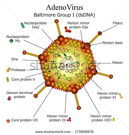 virion diagram  adenovirus structure and genome replication