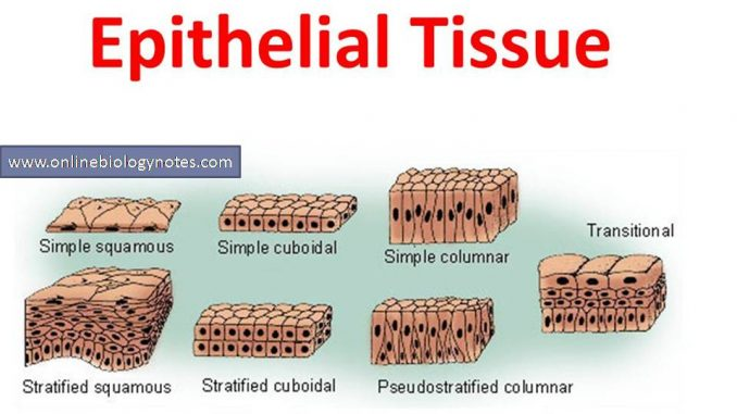 Epithelial tissue: characteristics and classification scheme
