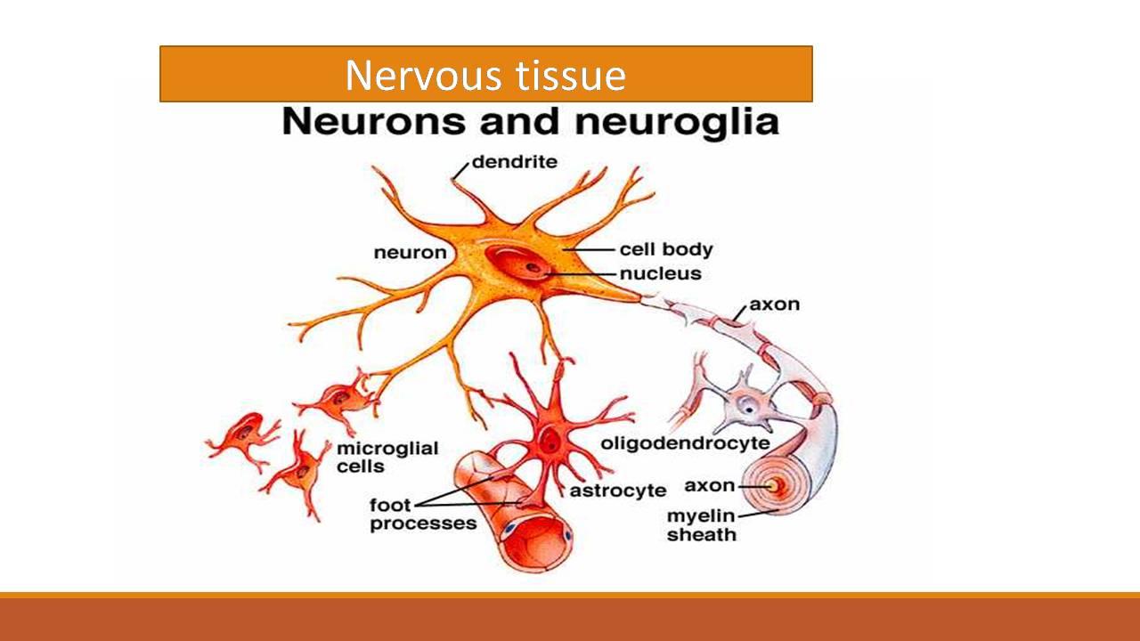 Nervous tissue: Neuron and Neuroglia -