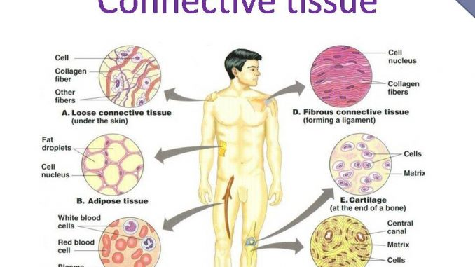 Connective Tissue Characteristics Functions And Types