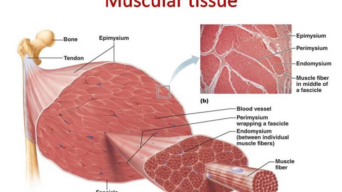 Muscular Tissue Skeletal Smooth And Cardiac Muscle