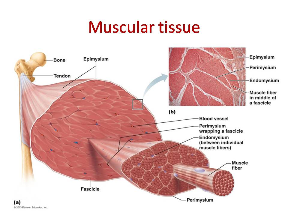 Muscular tissue: skeletal, smooth and cardiac muscle -