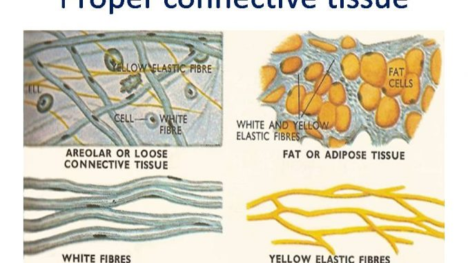 diagram of blood tissue proper connective tissue: areolar, adipose, reticular ...