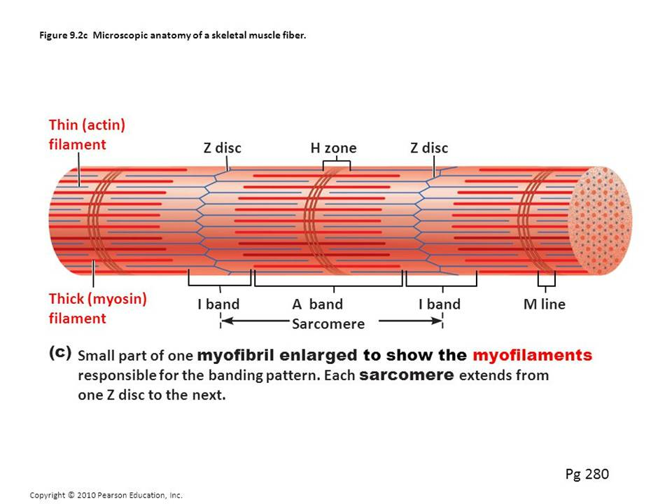 Muscular tissue: skeletal, smooth and cardiac muscle - Online